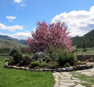 Crabapple tree May Day 2
