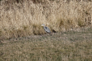 Heron hunting a ditch